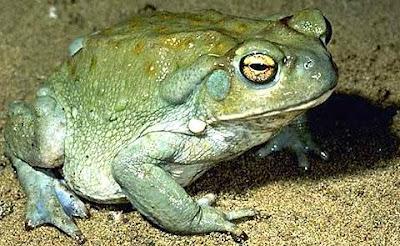 Foto de un sapo verde