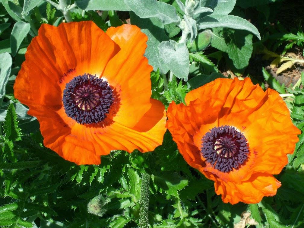 Papaver orientale Allegro Oriental poppy blooms by garden muses-not another gardening blog