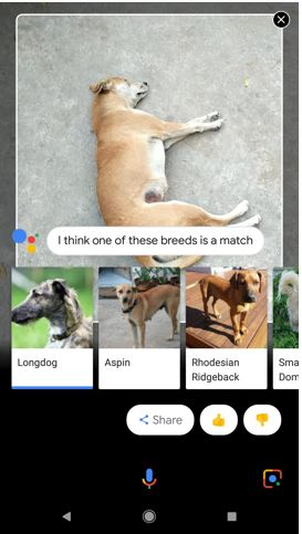Gogole Lens Identifying the DOG breed