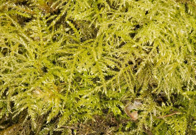 Kindbergia praelonga, Common Feather-moss.  Keston Common, 3 March 2016