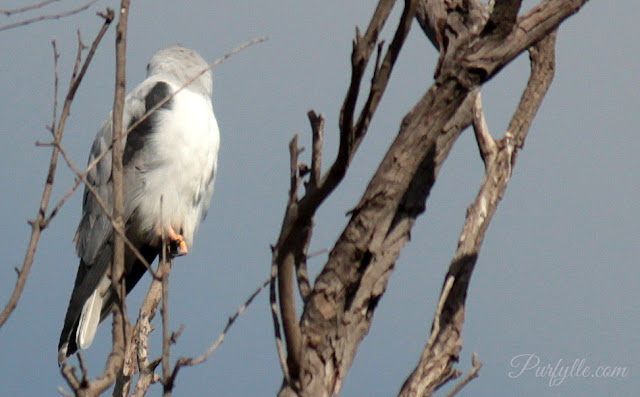Black Shouldered Kite rotating it's head
