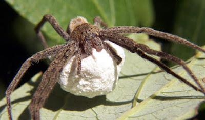 Bất ngờ với cách trị hôi nách từ nhện