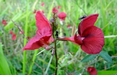 Flor do Cerrado vermelha sem identificação - foto de jcpat100