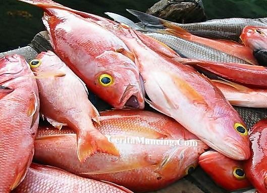 Mancing Handline Panen Ikan Bekil Anak Ikan Merah