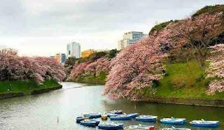 bunga sakura chidorigafuchi