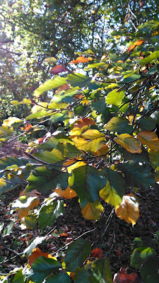 sunlight through autumn beech leaves