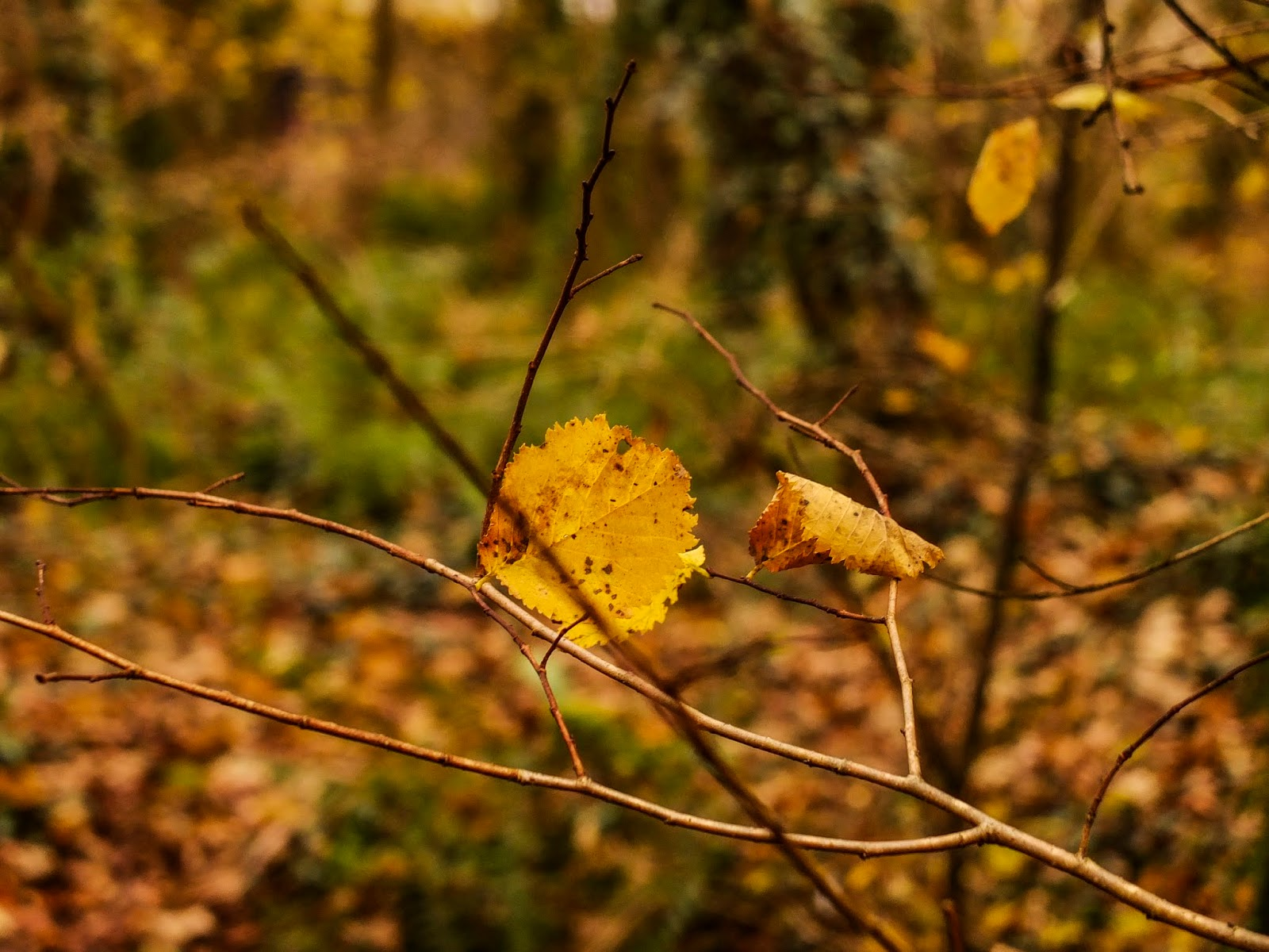 A round yellow leaf hanging off a bare tree branch in the woods.
