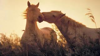 Gambar Kuda berpasangan