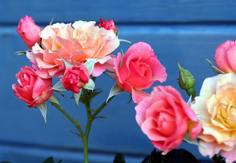 Todo sobre la poda de los rosales amigos de la jardiner a for Jardineria rosales