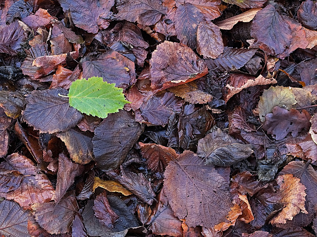 Single green leaf on top of carpet of dark brown / black rotting leaves