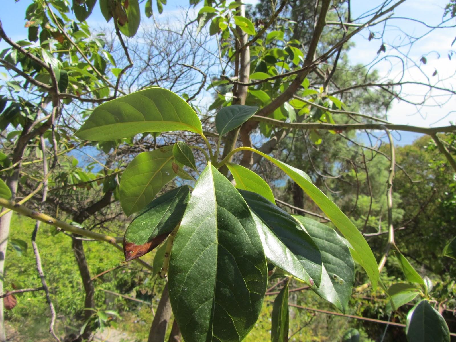 Come coltivare l 39 avocado persea americana partendo da for Avocado coltivazione