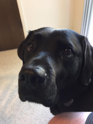 Leif a black labrador retriever looks into the camera as he sits in a light airy room.