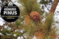 El género Pinus son arboles que pueden llegar a hasta 30 m. o más de altura con copa cónica y troncos derechos