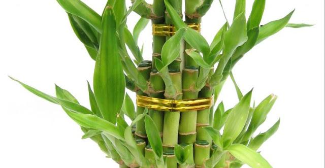 Bambu Nedir, Bambu Hakkında Bilgiler