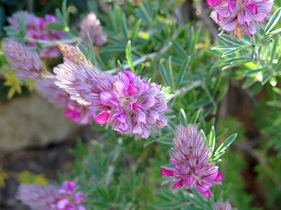 Flores de color rosa de Onobrychis argentea