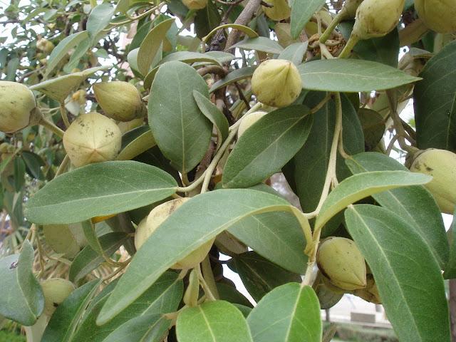 LAGUNARIA: Lagunaria patersonia