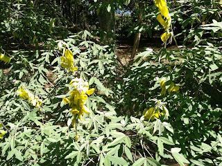 Azuceno amarillo – posoqueria sp. colombia andes tree arbol leaves bark