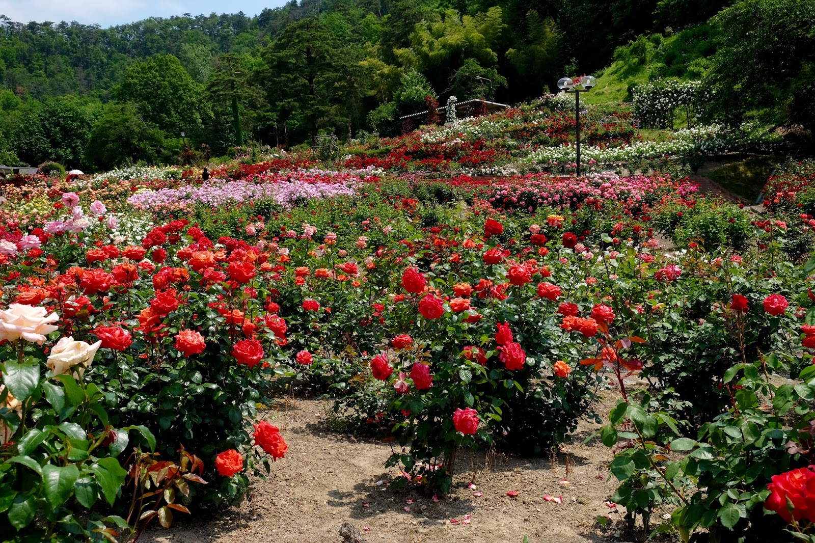 山 ときどき 花: 東沢バラ公園