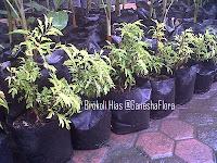 Brokoli Hias