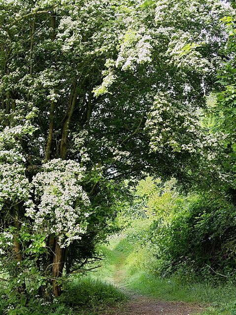Arch of hawthorn over path