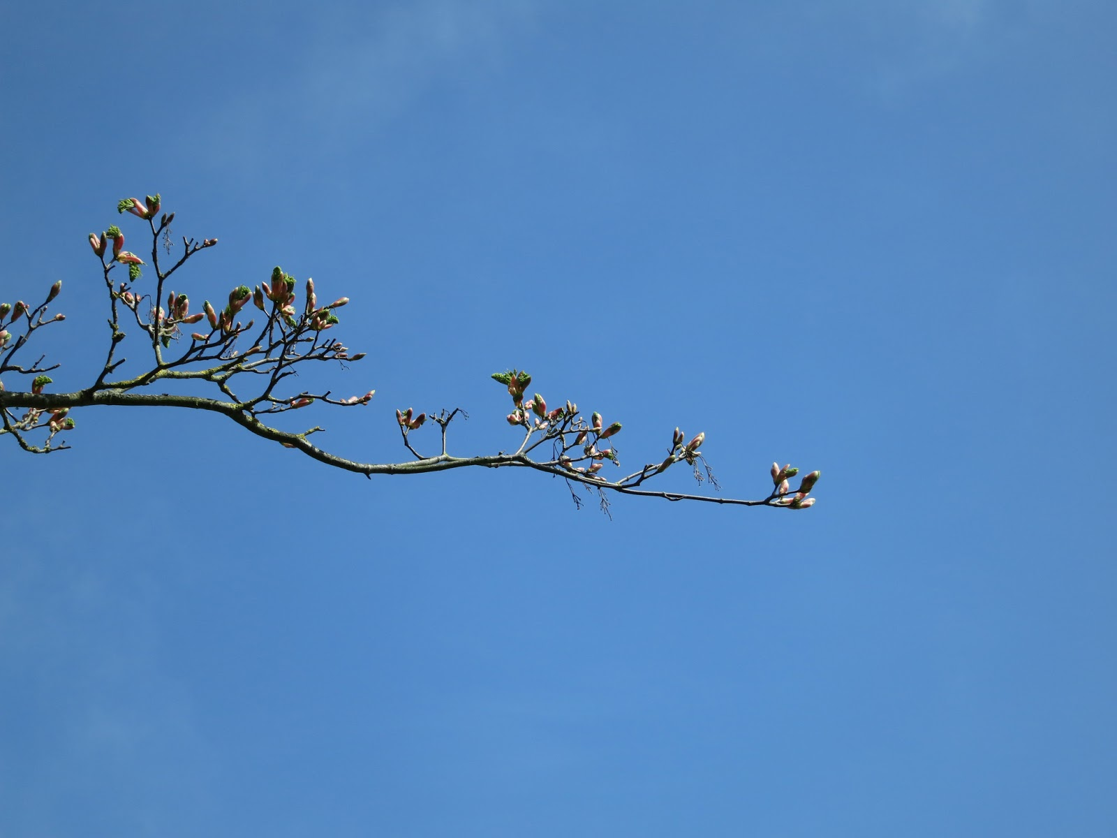 Tree leaves opening against blue sky.