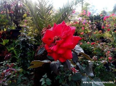 Mawar Taman Kota 2 BSD City