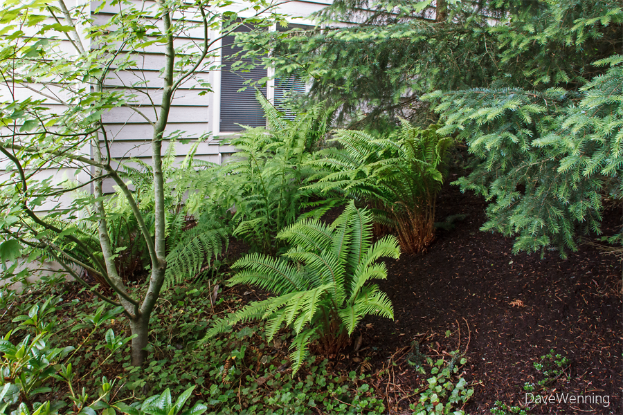 Side Yard Fern Patch