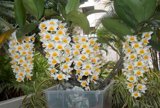 Gambar Bunga anggrek epifit