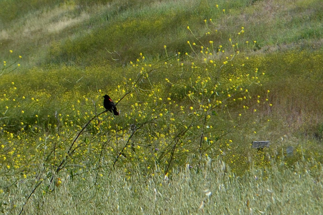 red winged blackbird upon mustard