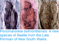 http://sciencythoughts.blogspot.co.uk/2017/08/ponomarenkia-belmonthensis-new-species.html
