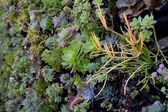 muro verde suculentas