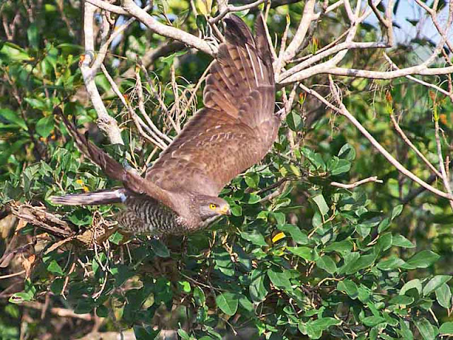 Grey-faced Buzzard Eagle flying in Okinawa, Japan