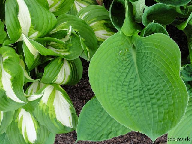 hosta, jadalne rośliny ogrodowe, ozdobne rośliny jadalne