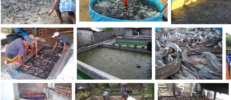 Keuntungan Bisnis Ikan Lele untuk Usaha Rumahan