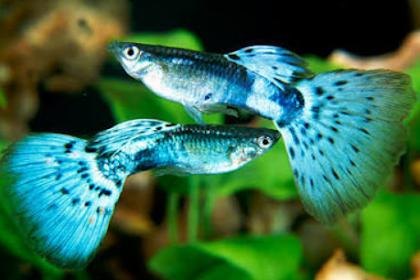 Cara Mengawinkan Ikan Guppy dengan Sangat Mudah