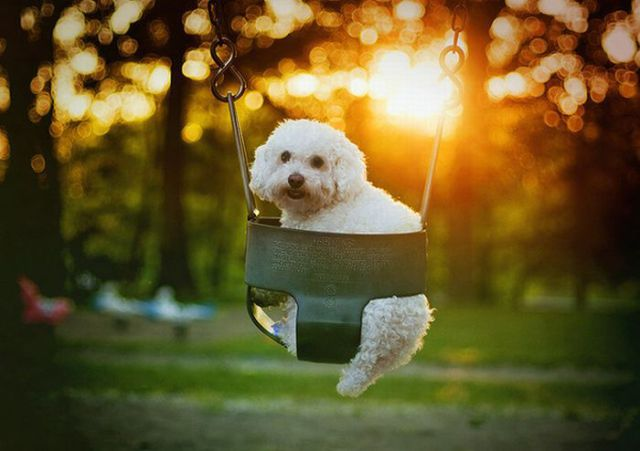Funny Cool Pictures Dogs On Swings