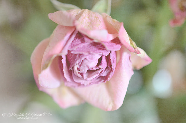 Rose Of Yesterday Photo by @elizafaye57