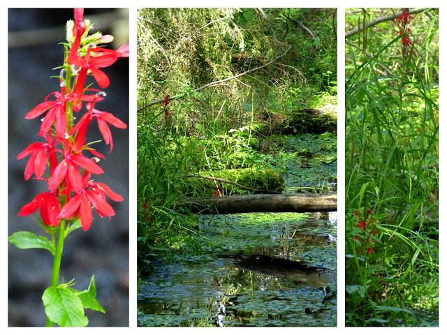 Lobelia Cardinalis, rote Wildblumen bluehen hier entlang des sumpfigen Creeks