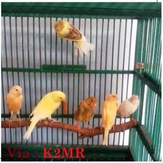 Peluang Usaha Burung Kenari