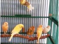 6 Alasan Peluang Usaha Burung Kenari Sangat Menjanjikan