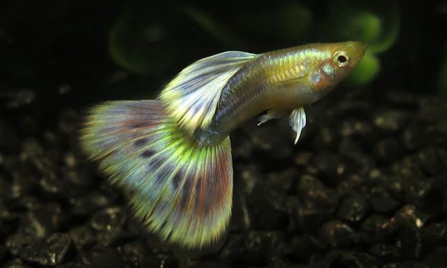 Asal Usul Ikan Guppy Dan Jenis Terbaiknya