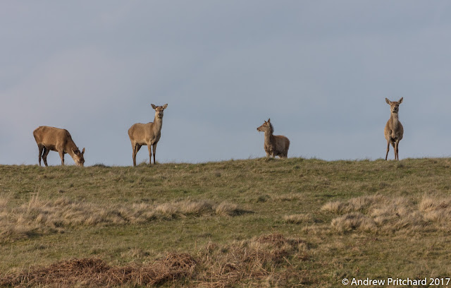 Three hinds and a calf grazing on grass, and checking the area for danger.
