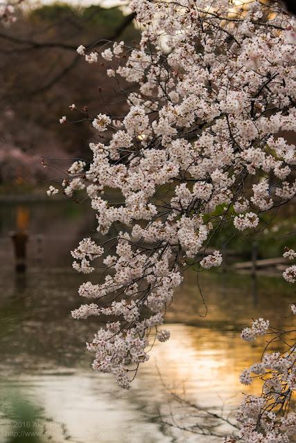 夕方に撮影した綺麗な桜の写真