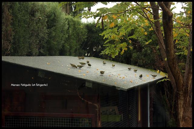 moineaux sous pluie