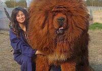 Mastiful tibetan, cel mai scump caine din lume