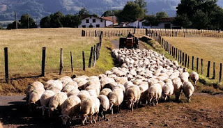 image of farmer following a herd of sheep.