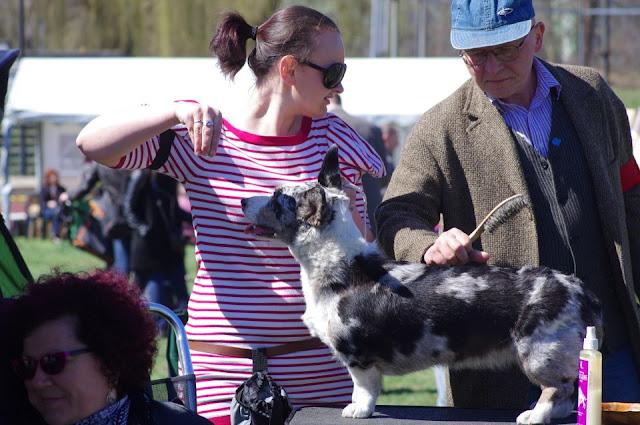 welsh corgi cardigan, wystawa, wystawa psów, redlicki, mirek, mirek redlicki podróże z psem, pies, Biba, champion