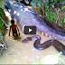 จับ งูหลาม ยักษ์ มาโคร (ชมคลิป)