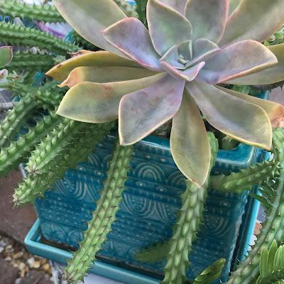 Huernia, Huernia succulents, succulent, succulents, garden, nature, flowers, gardening, garden tour, plants