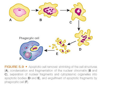 Apoptotic cell removal: shrinking of the cell structures